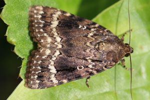 is this Svennson's or copper Underwing