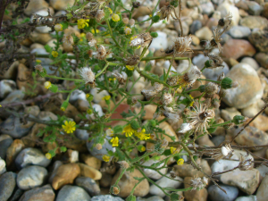 Sticky Groundsel