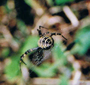 Wasp spiders