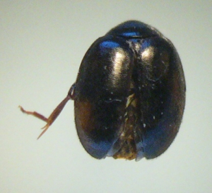 Small round beetle