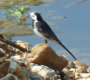 Pair of pied wagtails