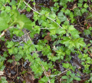 Alpine (or Mountain) Currant