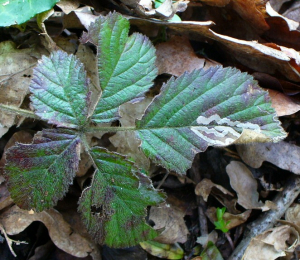 Bramble leaf mine