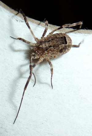 Bathroom harvestman