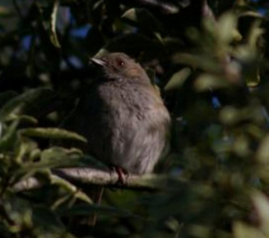 Of course it's a dunnock!