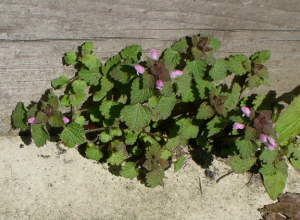Red Dead-nettle