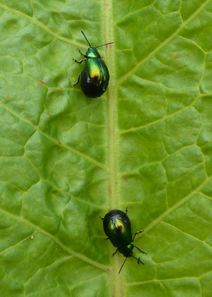 Fat-bottomed beetles