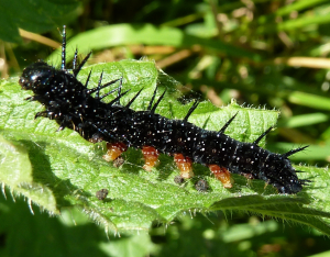 Peacock caterpillar