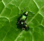 Green dock beetles