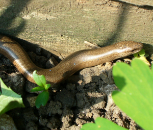 Slow-worm in the garden