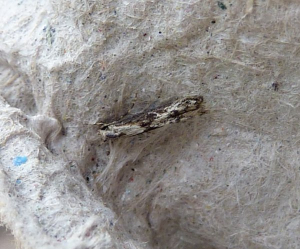 Unknown Micro Moth 2
