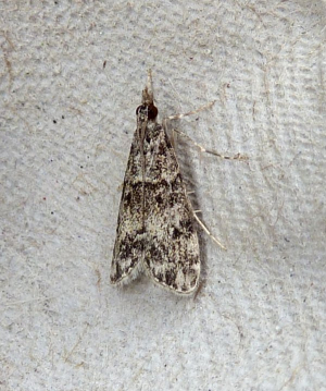 Unknown Micro Moth 3