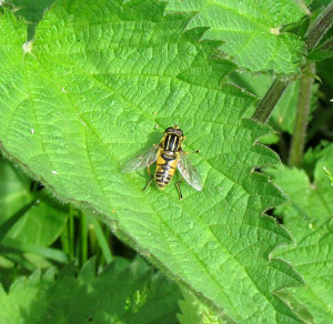 Which Hoverfly Species?