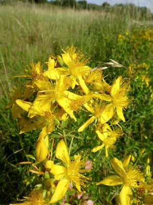 What St John's-wort species?
