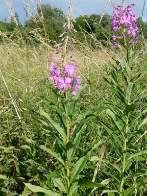 Rosebay Willowherb?