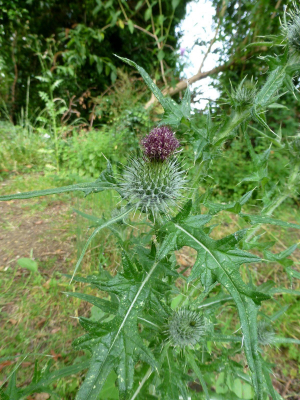 Welted Thistle?
