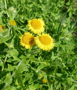 Common Fleabane?