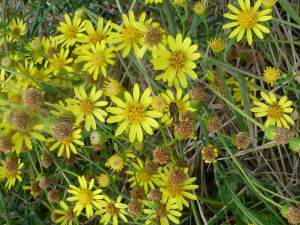 Common  Ragwort?