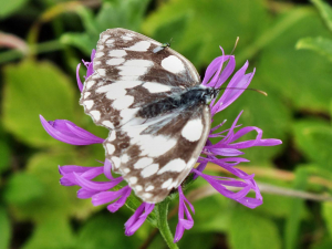 Marbled White wing walker