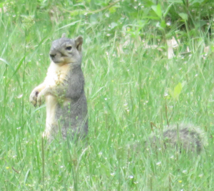 Sciurus niger (Fox squirrel)