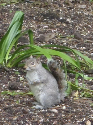 Sciurus carolinensis (Grey squirrel)