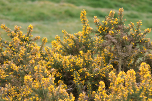 Gorse in Peak District