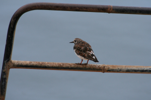 Turnstone on coast