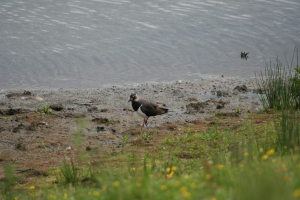 Lapwing at RSPB Old Moor