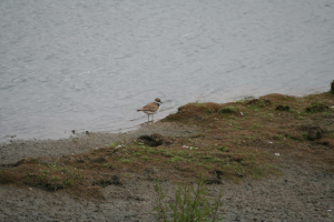 Ringed Plover at RSPB Old Moor