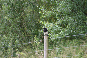 Magpie at RSPB Old Moor