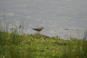 Common Sandpiper at RSPB Old Moor