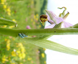 Beetles on Bee orchid