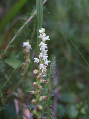 Creeping Lady's Tresses