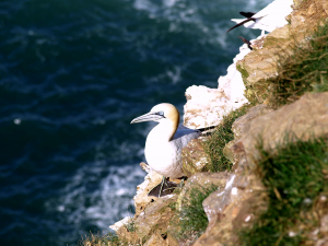 Gannet at Troup Head 2008