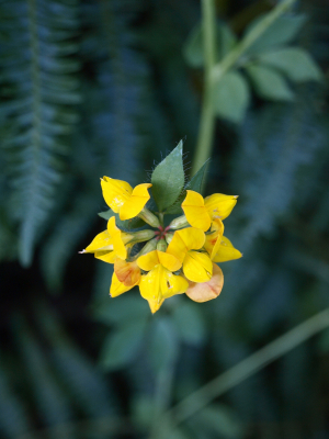 Greater Bird's-foot-trefoil (Lotus pedunculatus)