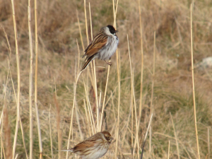 A Pair of Reed Buntings