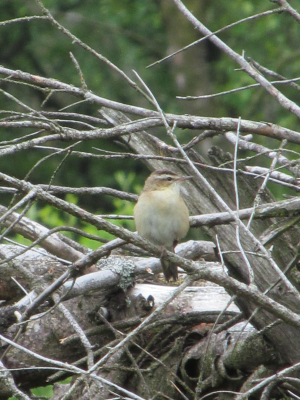 Looks most like a Sedge Warbler to me.