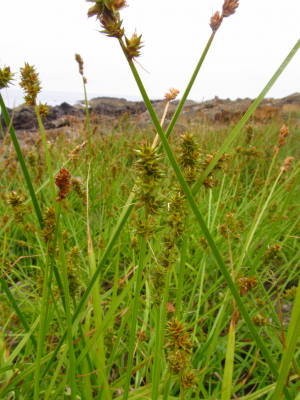 Sedge of some kind.