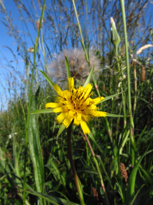 Goat's-beard at Flamborough Head