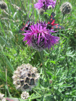 Greater Knapweed / Burnet Moths at Flamborough Head