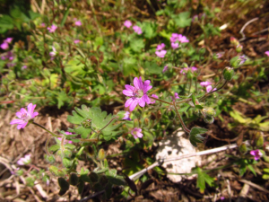Crane's-Bill at Doocot no 1