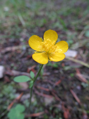 Some kind of buttercup.