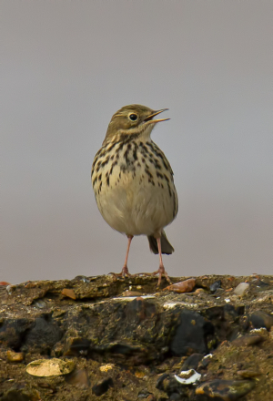 rock or meadow pipit