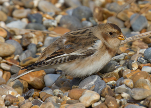 snow bunting female ?