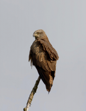 Red or Black Kite ?