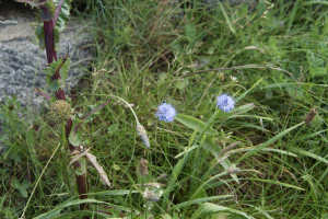 Sheep's's bit scabious 2