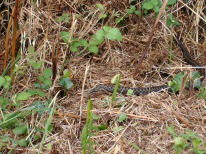 European Adder, Somerset