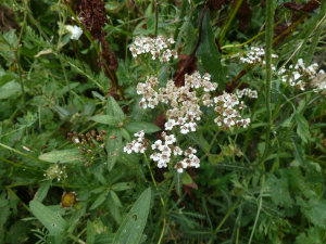 Yarrow or Sneezewort?