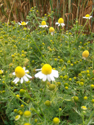 Scented Mayweed at Ranscombe Farm Reserve