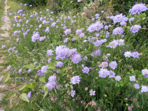 Small scabious at Ranscombe Farm Reserve